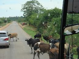 Animals on road