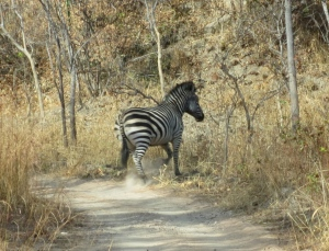 "A ""zebra crossing"""