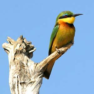 Bee-eater_Lit-Jy05Mahango-w