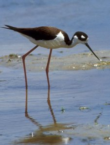 black_necked_stilt_small