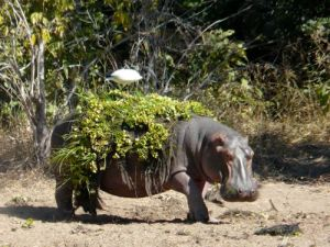 hippo-nile-cabbage
