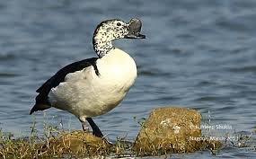 Knob billed duck